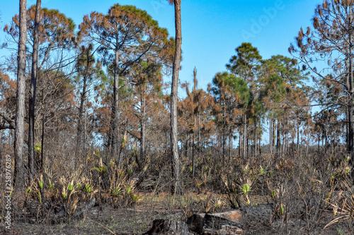 Florida forest after a prescribed burn Canvas