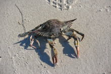 Blue Crab On A Sandy Beach In ...