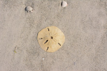 Sand Dollar Sitting On A Sandy...