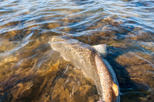 Releasing Moment Of The Big Sea Trout