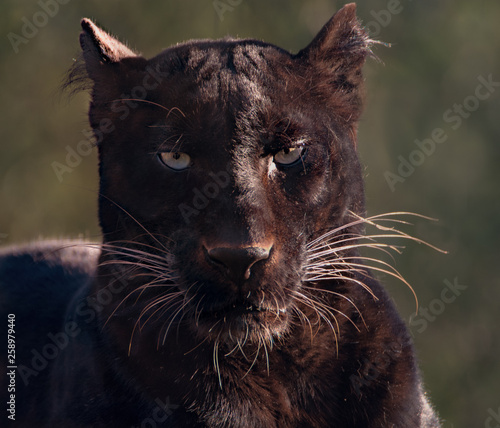 Garden Poster Panther portrait of black panther