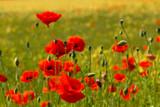 Fototapeta Kwiaty - A cornfield with flowering red poppies near village.