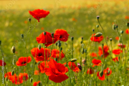 Fototapety, obrazy: A cornfield with flowering red poppies near village.