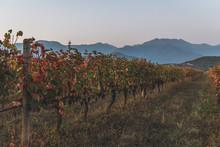 Georgia, Kakheti, Vineyard At Twilight