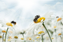 Bumblebee  Sitting On Camomiles. Macro Photo. White Flowers. Life Of Insects
