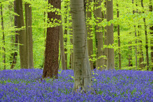 Bluebell Flowers In A Hardwood Forest In Early Spring, Hallerbos, Flanders, Belgium