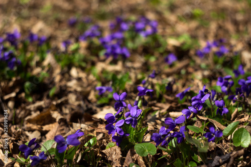 Fotografie, Obraz  Viola odorata (Sweet Violet, English Violet, Common Violet) - violet flowers blo