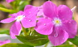 canvas print picture - Vinca Flower Photography