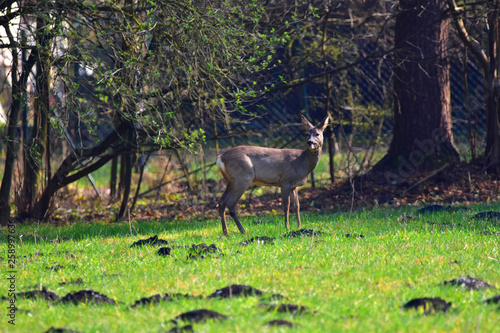 Poster Cerf Deer on a meadow looking to the photographer