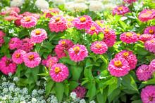 Blooming Zinnia Flowers In Gar...