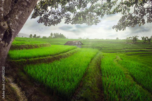 Indonesian natural beauty with a view of green rice fields as well as a hut of trees with beautiful compositions natural beauty of bengkulu utara indonesia with mountain barisan and green nature