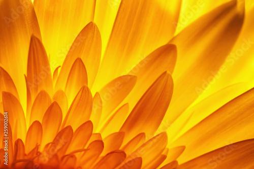 Photo gerbera flower petal detail in backlit