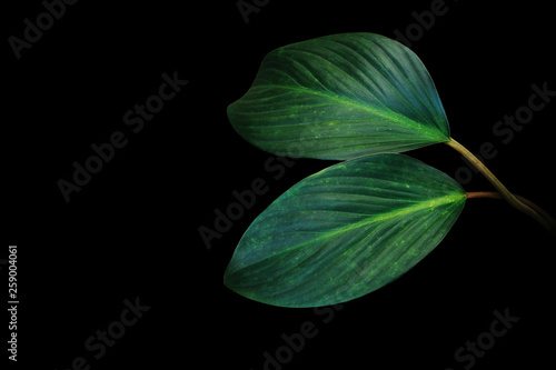 Dark green leaves of tropical foliage plant growing in wild isolated on black background Obraz na płótnie