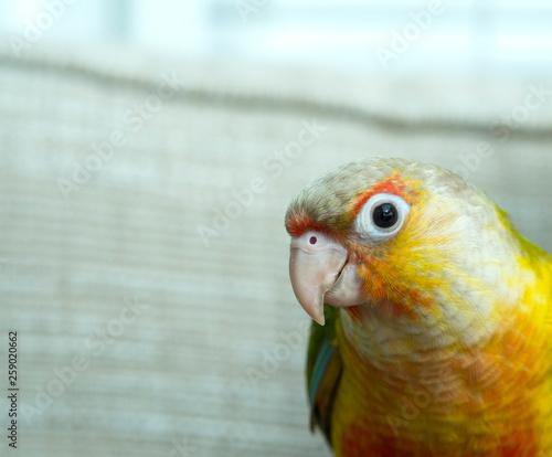 Photo exotic,parrot,little,birdy,pet bird,pet parrot,pets at home,avian,background,bea