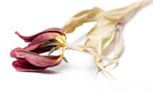Dried Tulip Flower Over White ...