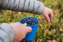 Hiker Picking Wild Blueberries...