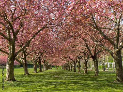 Poster Rose clair / pale Cherry trees in NYC