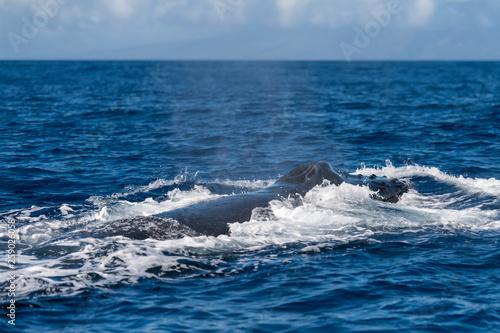 Photo  Humpback whale blowhole.
