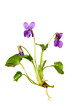 Sweet violet or wood violet, (viola odorata) isolated on white background.