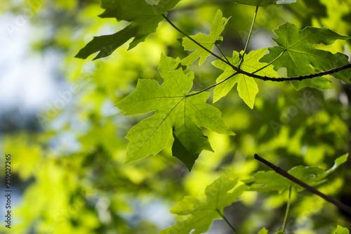 Photo Bright green bigleaf maple (Acer macrophyllum) leaf background