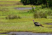 Marsh Turkey