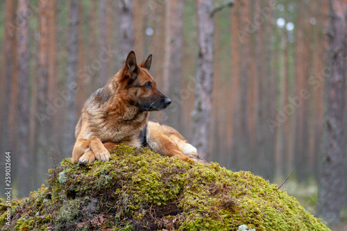 Stampa su Tela beautiful German shepherd in the forest