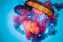 Orange And Pink Jellyfish With...