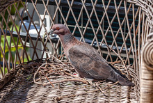 Turtle Dove In The Nest