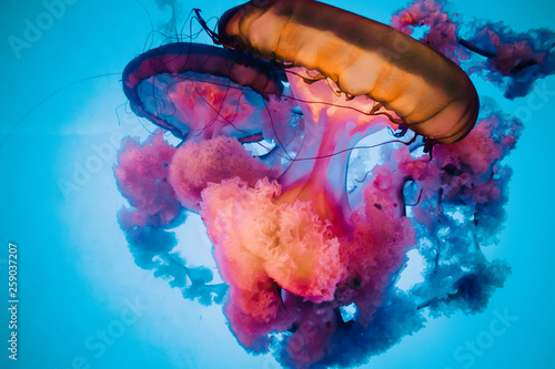 Photo  Orange and Pink Jellyfish with Blue Background
