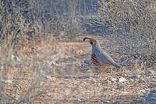 Gambels Quail In The Desert Brush