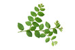 Fresh green leaves and branch of tree on white background.