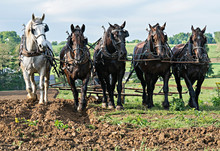 Five Draft Horse Team Pulling Together In A Rural Setting.Rolling Hills In The Background. Ohio