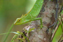 Mane Chameleon On The Tree Stalk