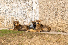 Stray Dogs Lie On The Ground A...