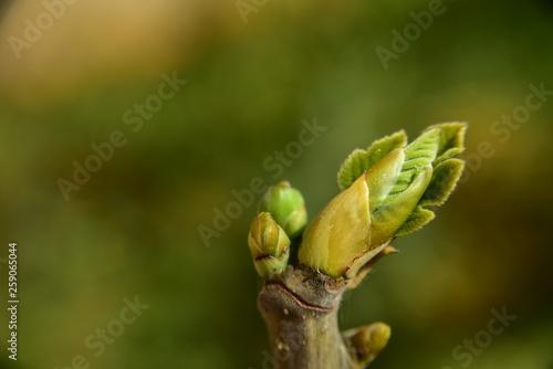 ein kleines grünes feigenblatt entfaltet sich im frühling am zweig Fototapete