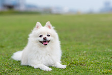 Pomeranian Dog In Park