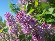 Common Lilac flowers on sunny may morning