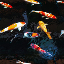 Carp Fish (Colorful Koi) In The Water Pool. This Image Is A Seamless Pattern Feature That Can Be Uses As Wallpapers.
