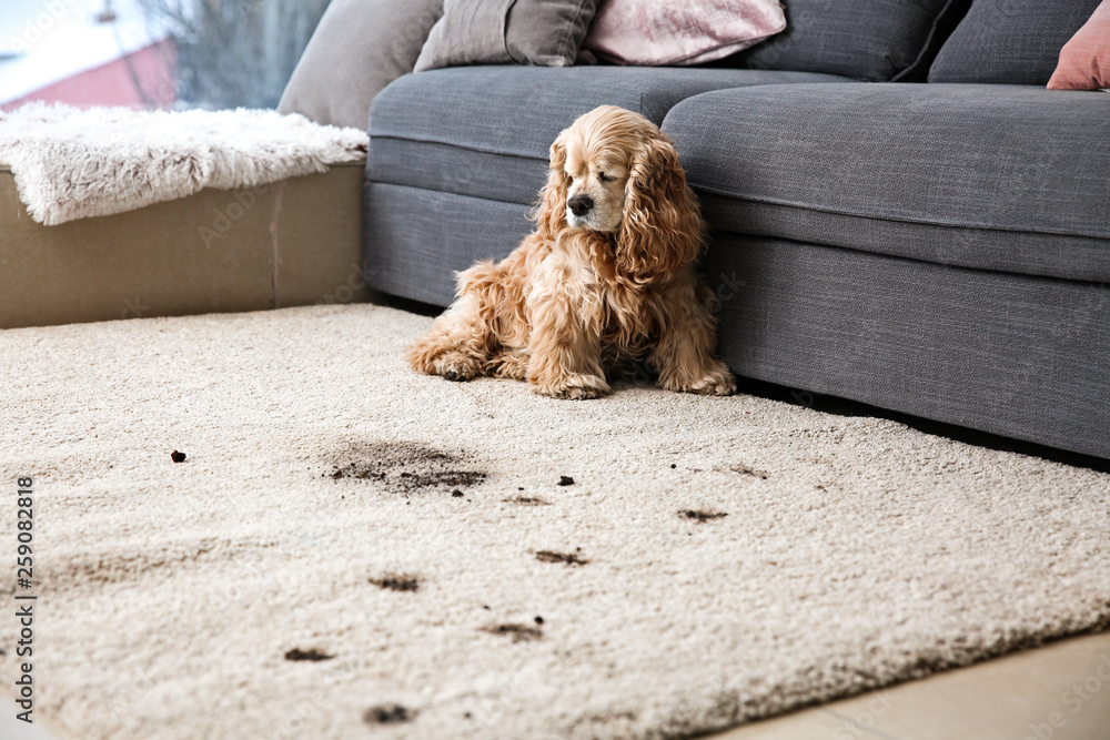 Fototapety, obrazy: Funny dog and its dirty trails on carpet