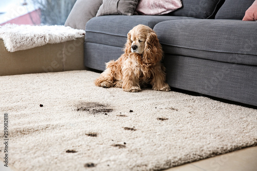 Funny dog and its dirty trails on carpet - 259082818