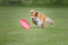Shetland Sheepdog Catches A Fl...
