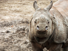 Beautiful Indian One Horned Rhinoceros. Curious & Happy Young Rhino. Wildlife Of India. Close Up Photo. Amazing Portrait Of A Cute Cub. Wild Animals In National Parks Of India. Wonderful Rhino