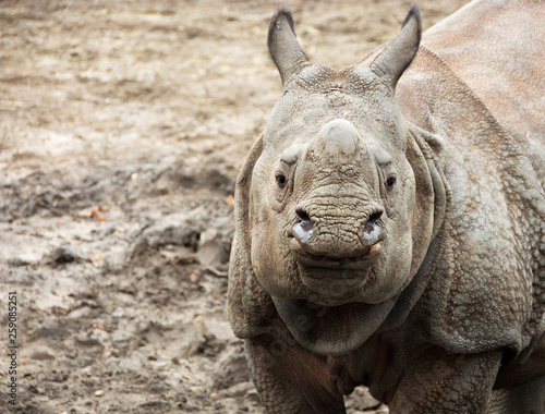 Beautiful Indian One Horned Rhinoceros  Curious & happy