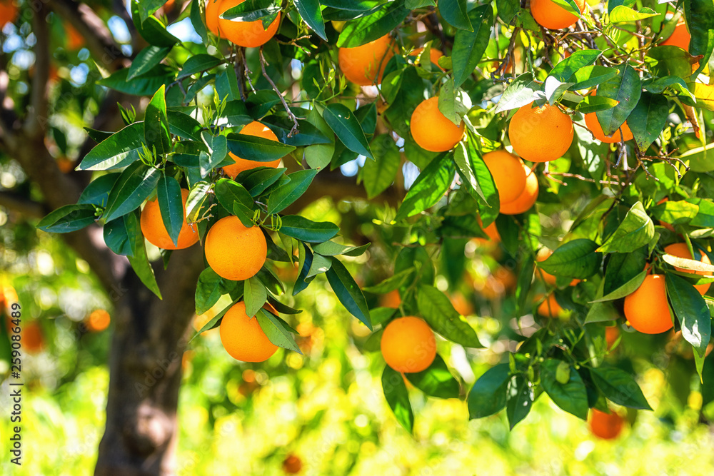 Fototapeta Orange garden in sunlight with rape orange fruits on the sunny trees and fresh green leaves. Mediterranean natural agricultural background