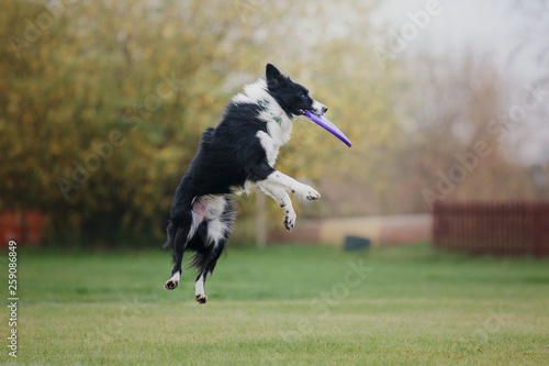 Pinturas sobre lienzo  Border collie dog catches a flying disc