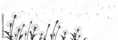 Fotografie, Obraz  The dandelion Flowers with flying seeds.