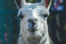 Portrait Of A Llama In The ZOO