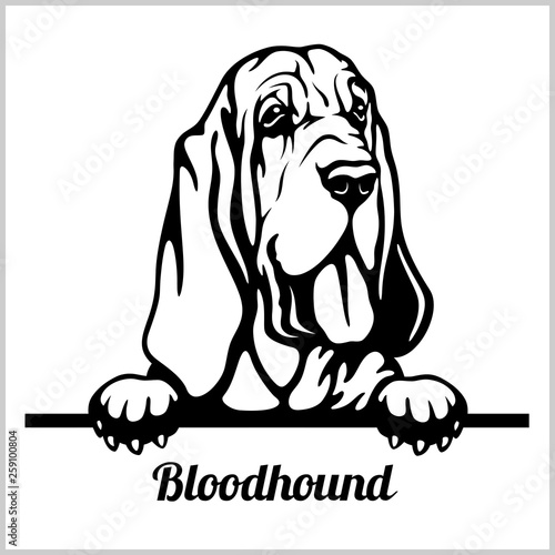 Tablou Canvas Bloodhound - Peeking Dogs - breed face head isolated on white
