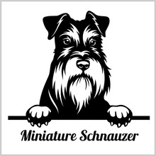 Miniature Schnauzer - Peeking Dogs - Breed Face Head Isolated On White