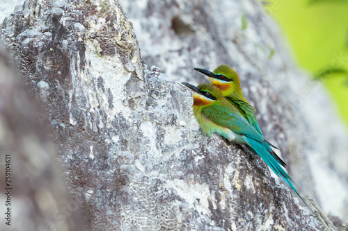 Lover birds behavior and habitat Blue tail bee eater birds